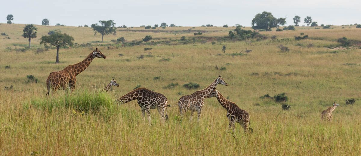 Rothschildgiraffen Safari Murchison Falls Nationalpark