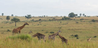 Rothschildgiraffen Safari Murchison Falls Nationalpark
