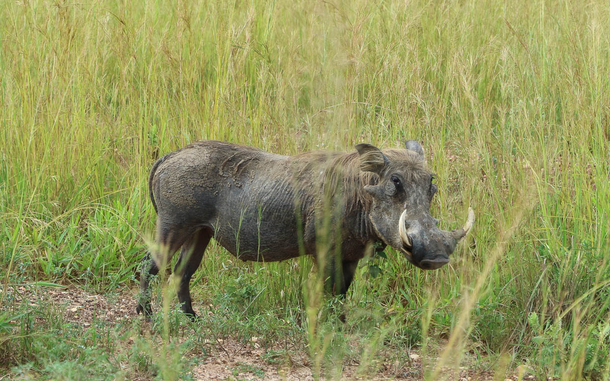 warzenschwein game-drive-murchison-falls-nationalpark
