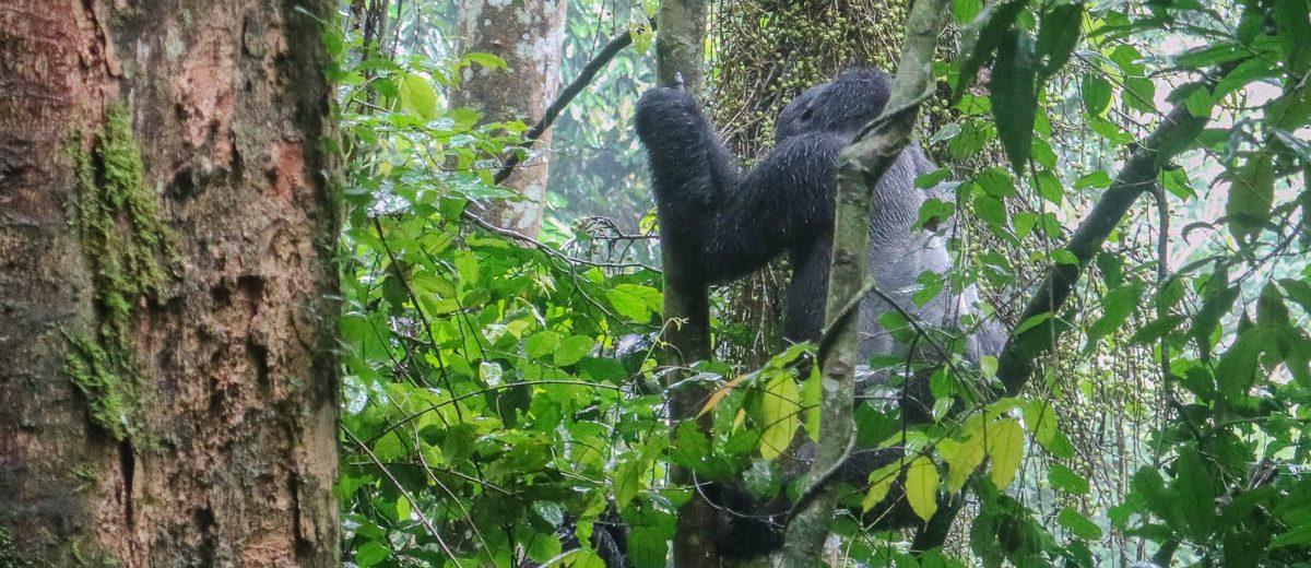 gorilla-trekking-uganda-bwindi-nationalpark-silverback-climbing