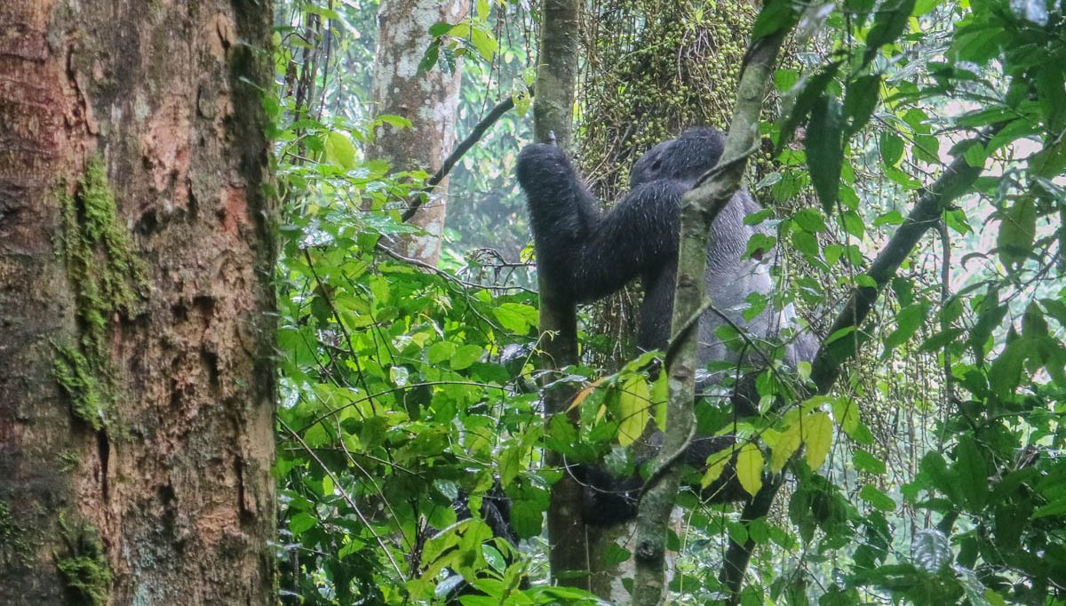 Gorilla Trekking Uganda Reisebericht Tipps Infos
