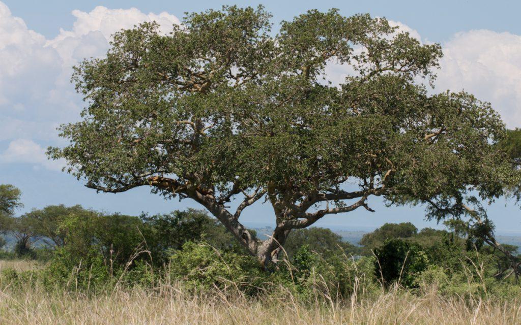 Ishasha Sektor Queen Elizabeth Nationalpark Uganda