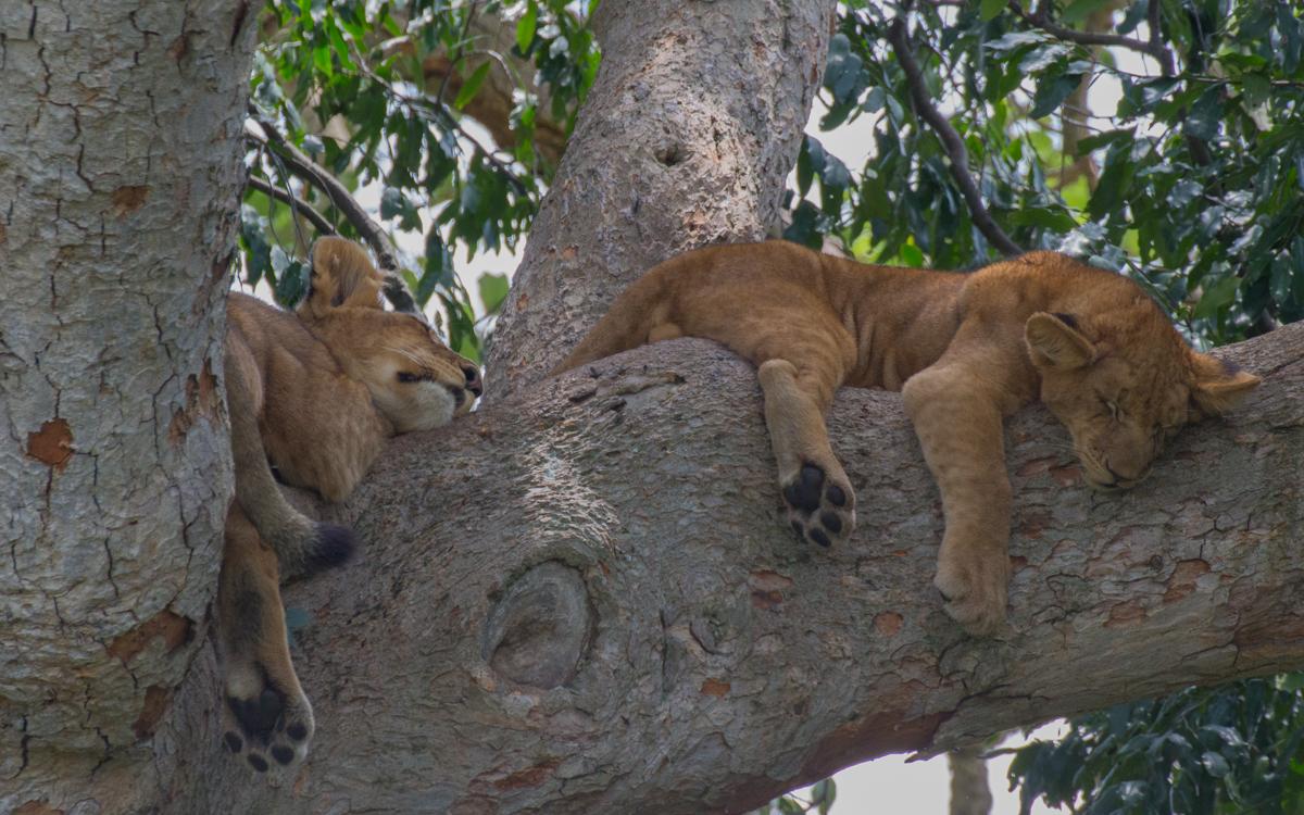 ishasha-tree-lions-sleeping