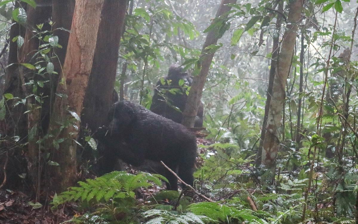 junge-gorillas-uganda-bwindi-nationalpark