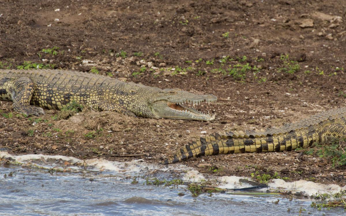 krokodile-queen-elizabeth-np-kazinga-channel