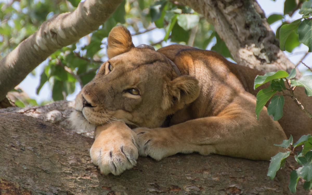 loewin-ishasha-tree-lions-qenp