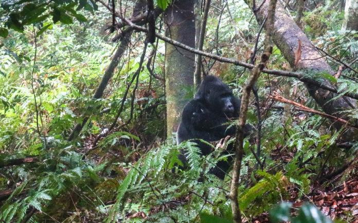 makara-sb-gorilla-trekking-uganda-bwindi-nationalpark