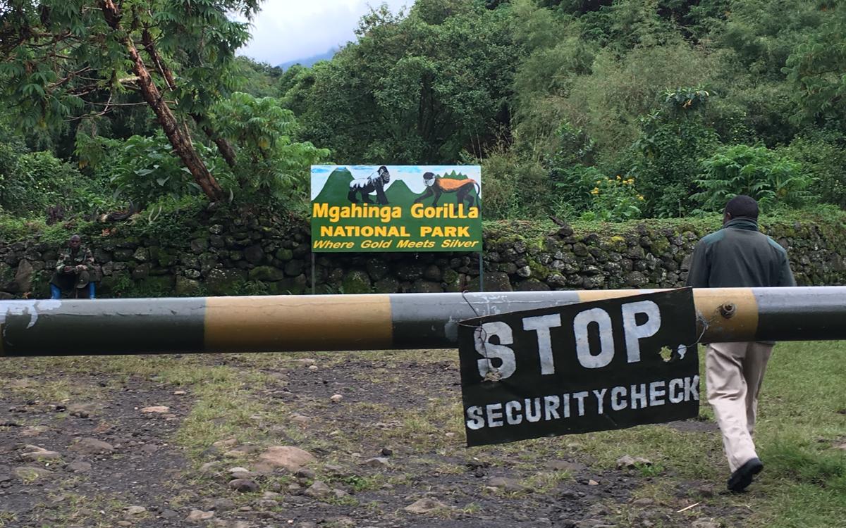 mgahinga-nationalpark-golden-monkeys-13