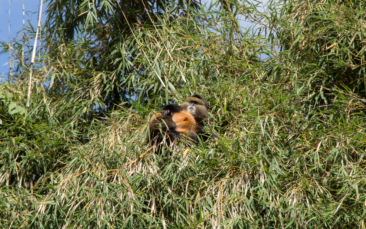mgahinga-nationalpark-golden-monkeys-16