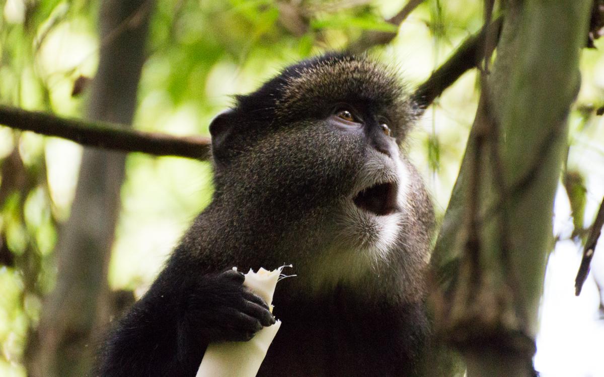 mgahinga-nationalpark-golden-monkeys-32