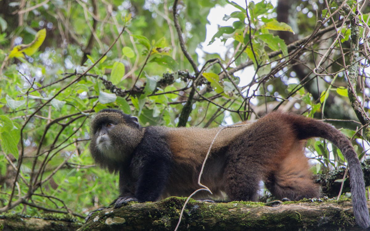 mgahinga-nationalpark-golden-monkeys-56