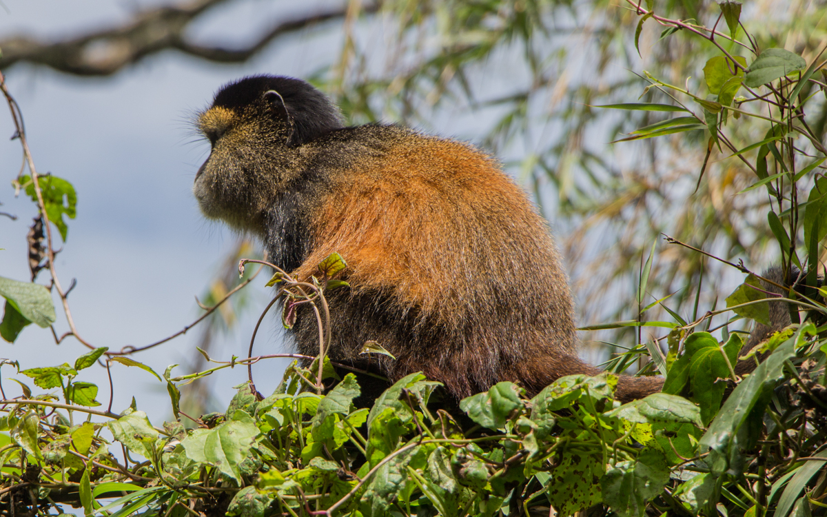 mgahinga-nationalpark-golden-monkeys-65