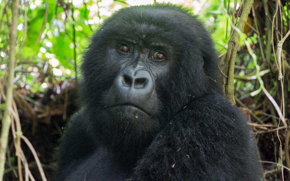 rwanda-gorilla-trekking-volcanoes--sabinyo-24