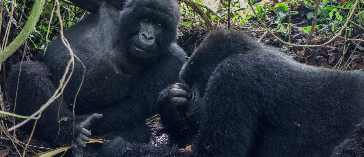 rwanda-gorilla-trekking-volcanoes--sabinyo-37