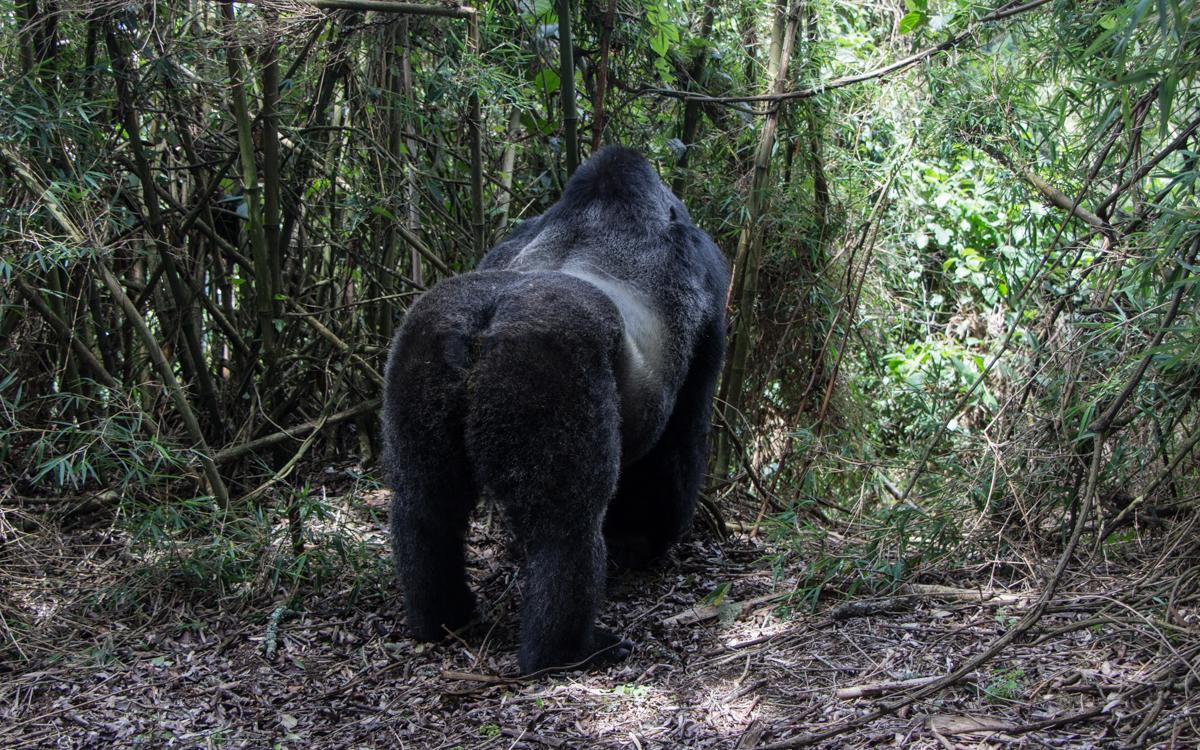 rwanda-gorilla-trekking-volcanoes--sabinyo-64