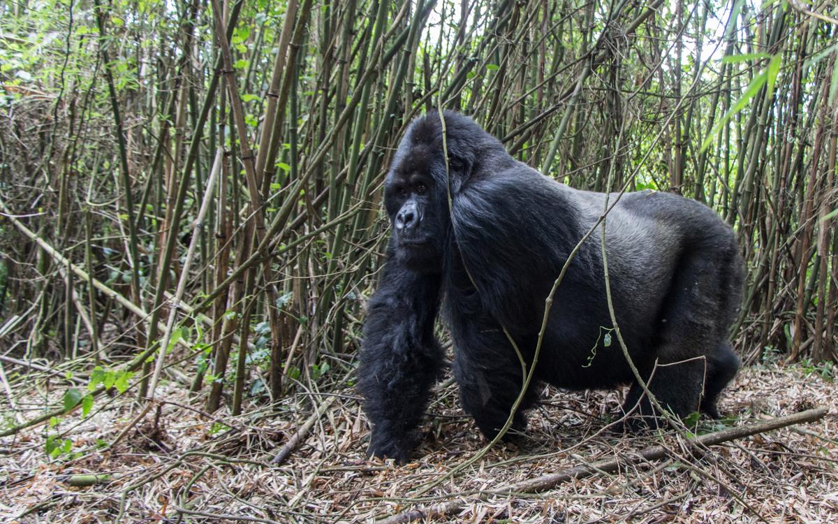 rwanda-gorilla-trekking-volcanoes--sabinyo-68