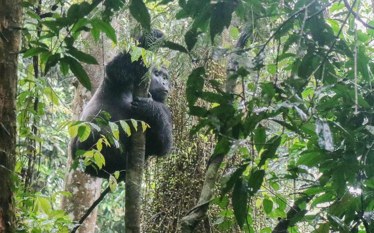 silverback-makara-eating-in-tree-bwindi-nationalpark