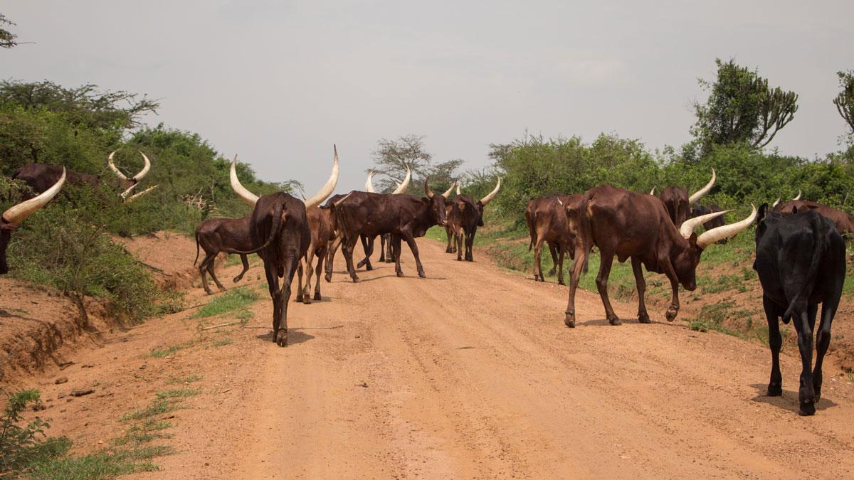 autofahren-in-uganda-tiere-strasse