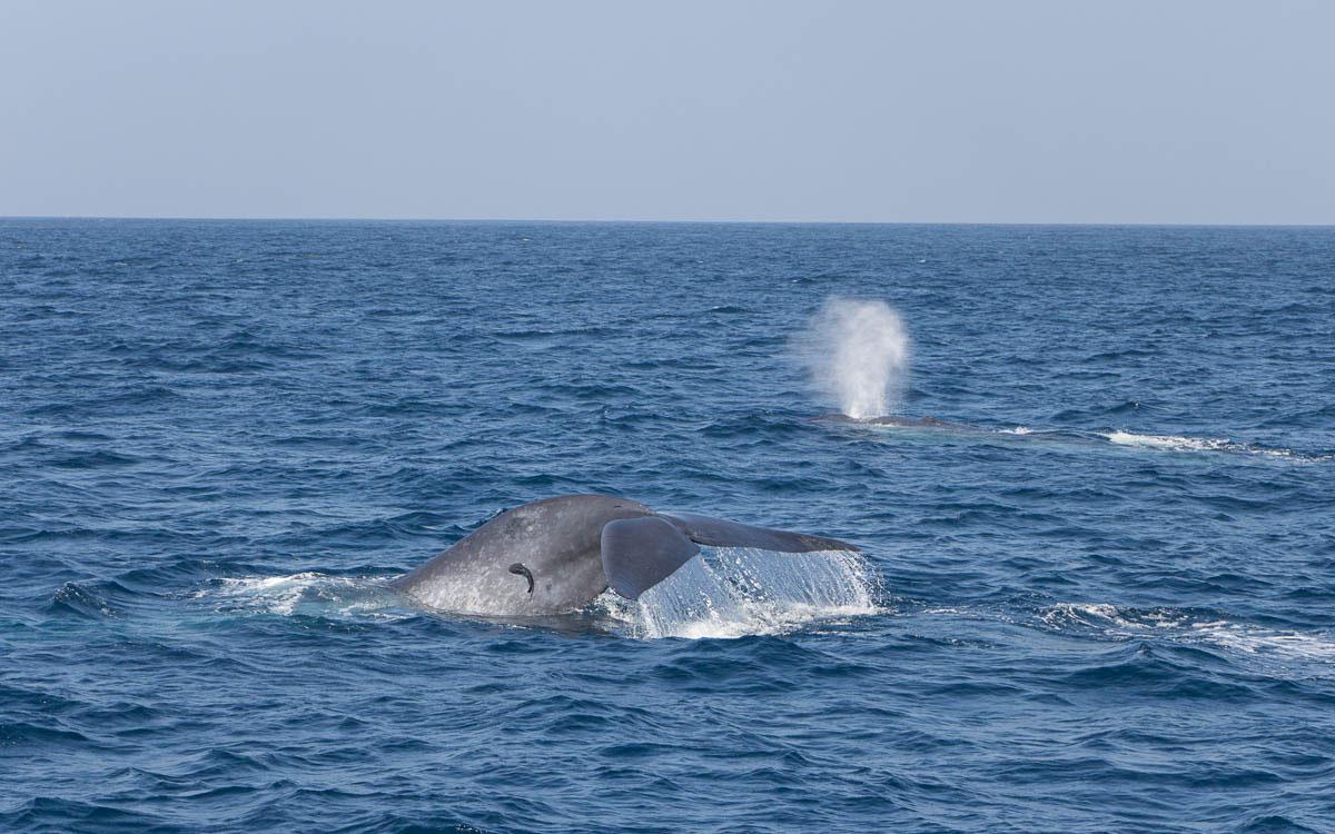 Blauwale beim Whale Watching in Mirissa