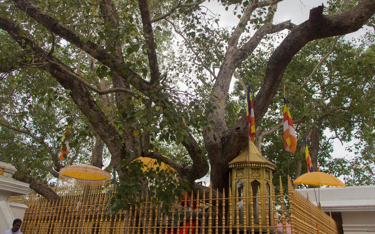 anuradhapura-bodhi-baum