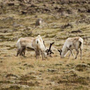 Seltene Rentiere in Island