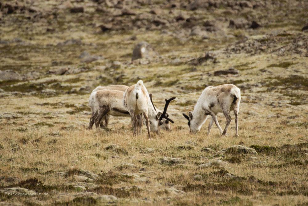 Island Reisetipps: Rentiere in Island