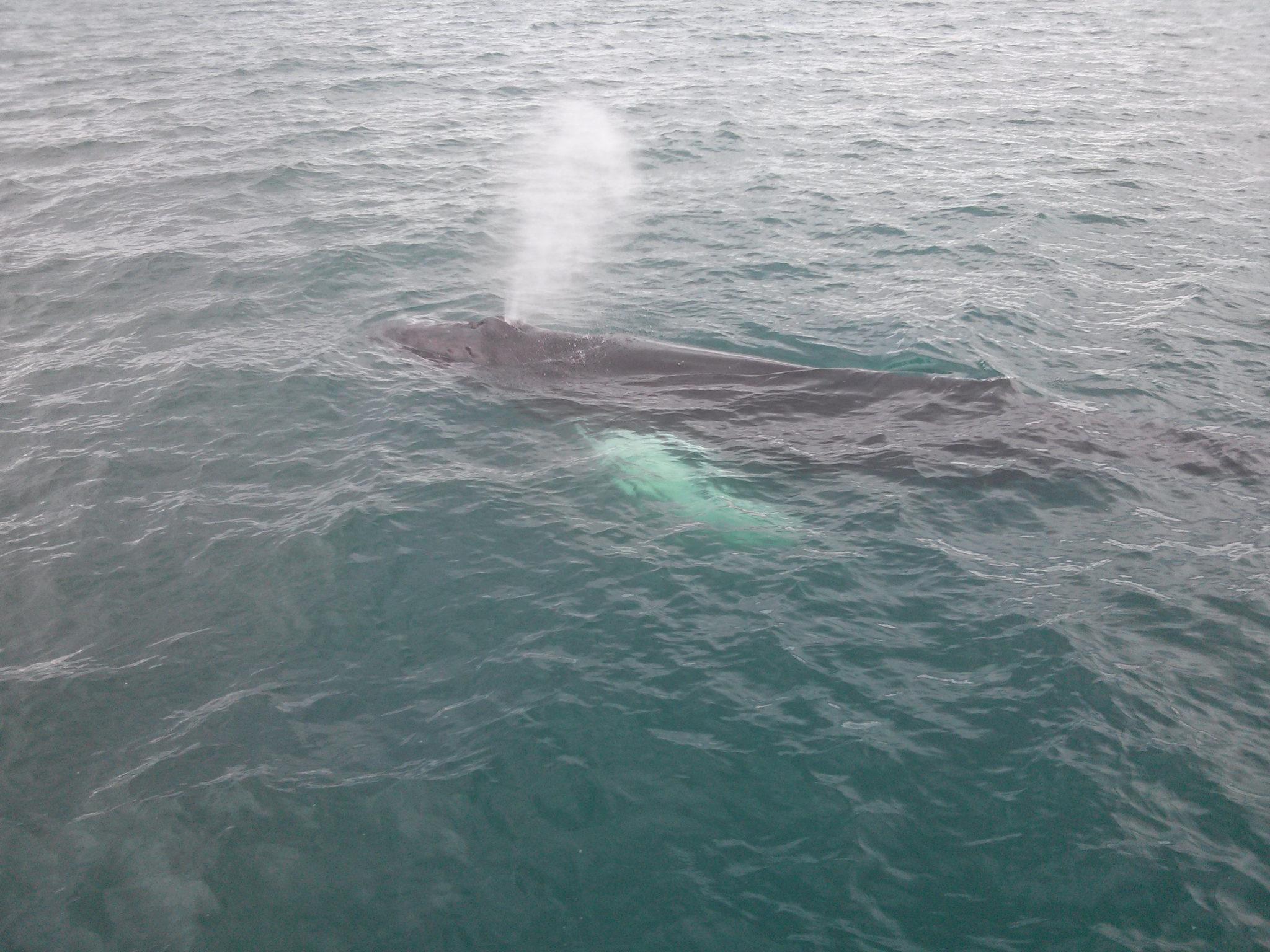 Island Reisetipps Wale bei einer Whale Watching Tour