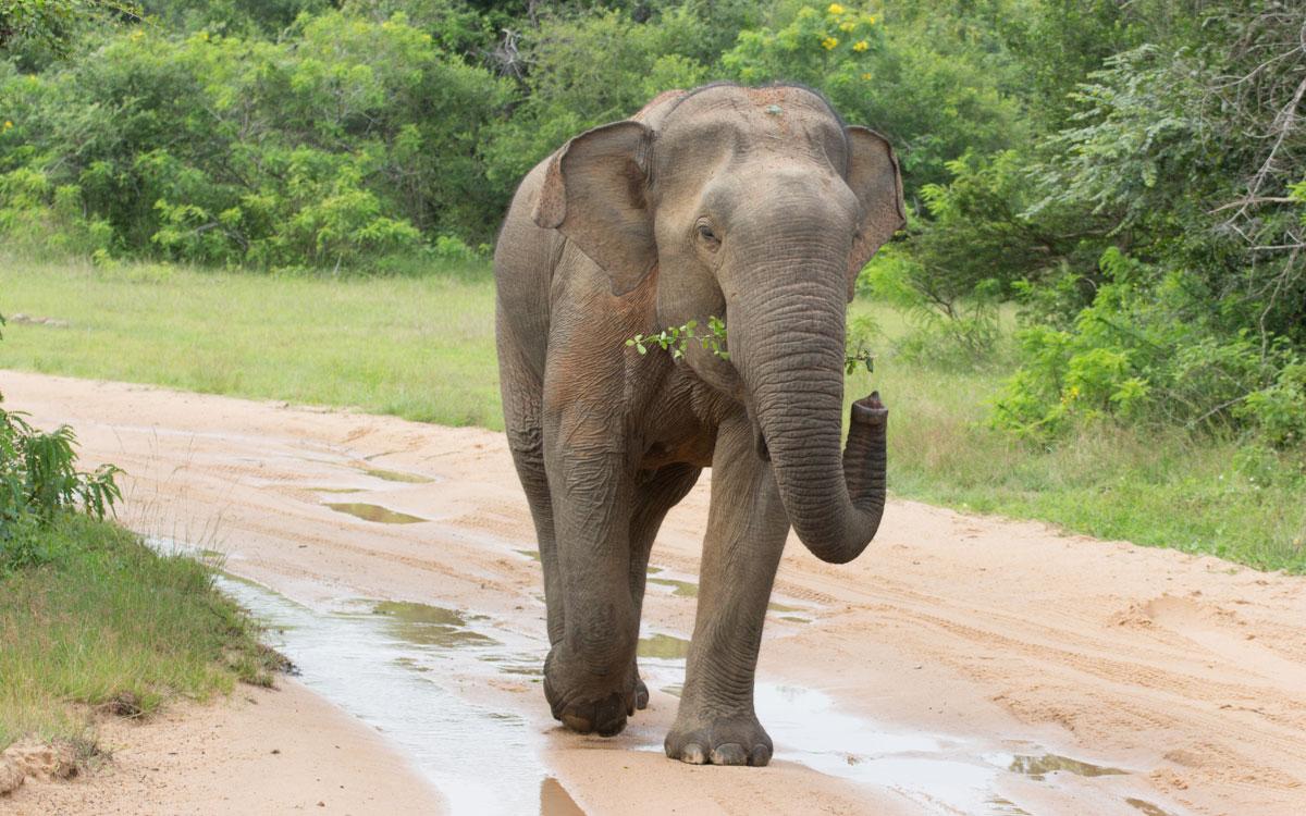 sri lanka sehenswürdigkeiten yala nationalpark elefant