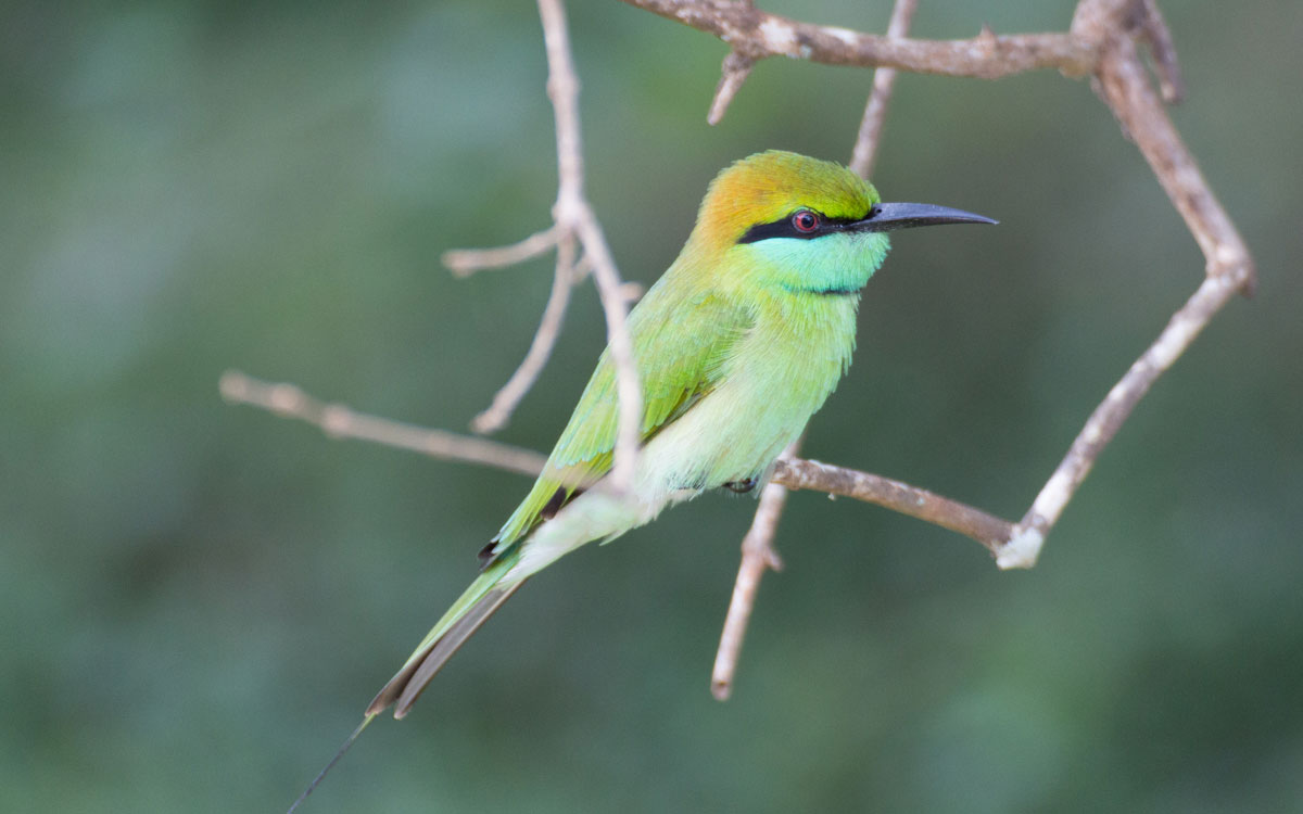 sri lanka sehenswürdigkeiten yala nationalpark green bee eater