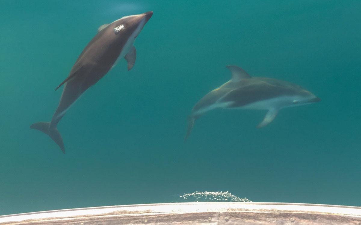 kaikoura-mit-delfinen-schwimmen