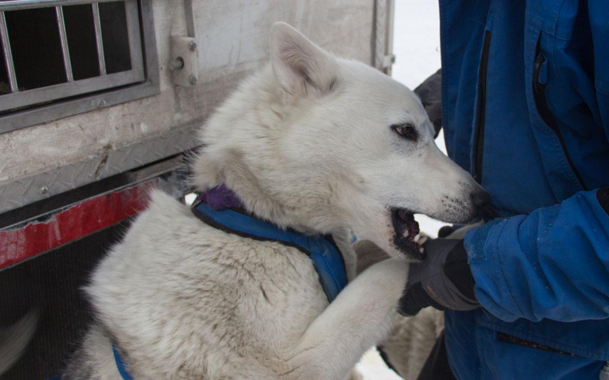 Winter Kanada Rocky Mountains Hundeschlittenfahren Canmore