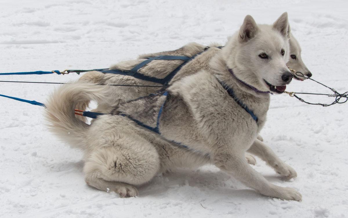 Winter Kanada Rocky Mountains Hundeschlittenfahren Canmore Pause Huskies