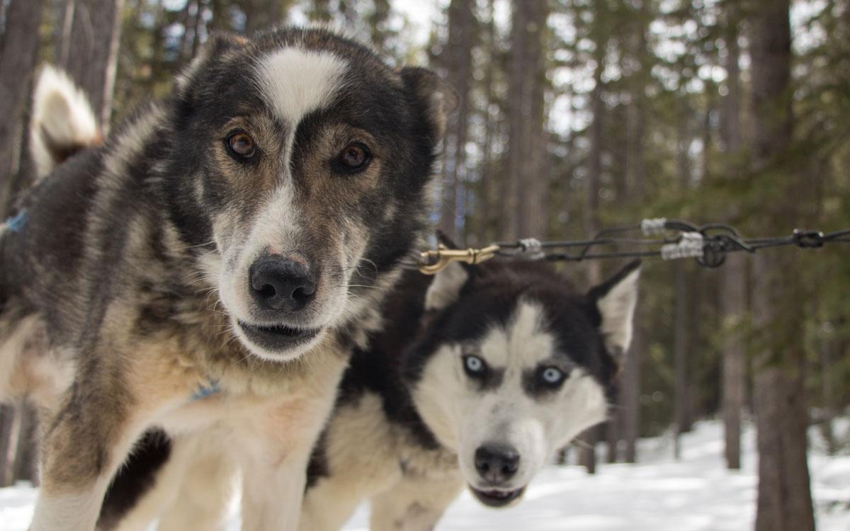 Hundeschlittenfahren Hunde Winter Kanada Rocky Mountains