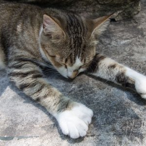 florida-key-west-hemingway-six-toed-cat