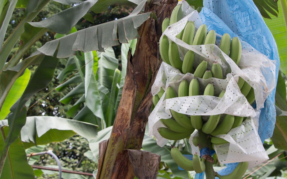 Bananenplantage Costa Rica
