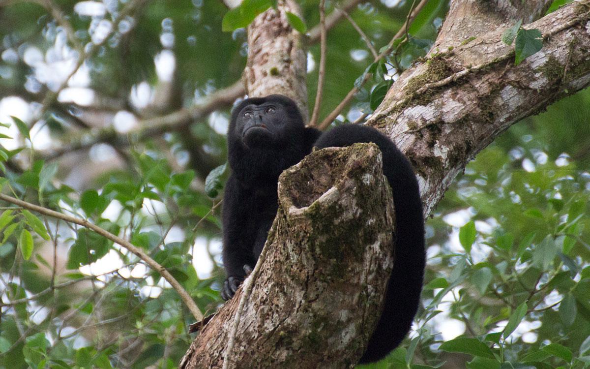Tortuguero Nationalpark Brüllaffe Costa Rica