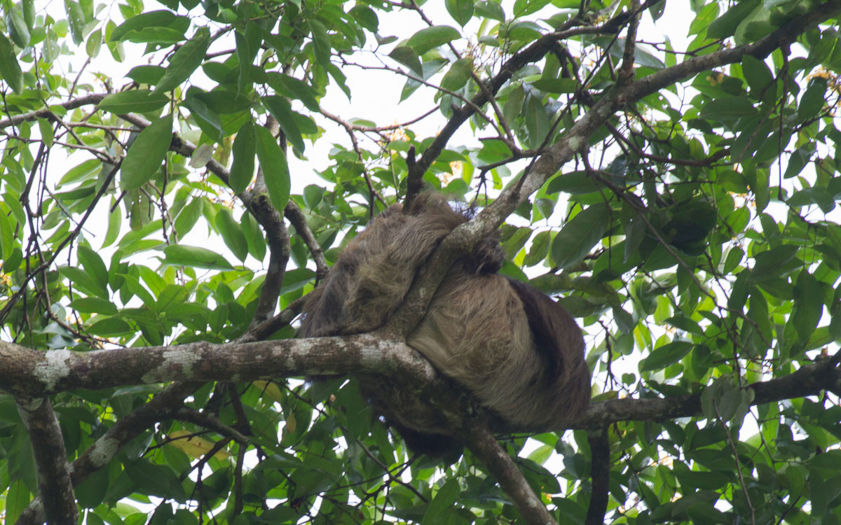 Tortuguero Nationalpark Zweifinger-Faultier Costa Rica