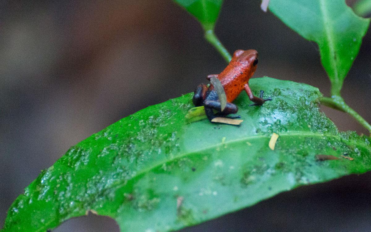 Tortuguero Nationalpark Giftpfeilfrosch