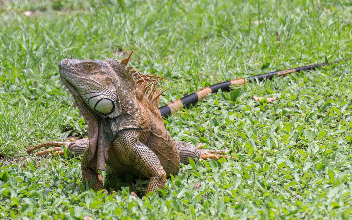 Tortuguero Nationalpark Mawamba Lodge Leguan sonnt sich