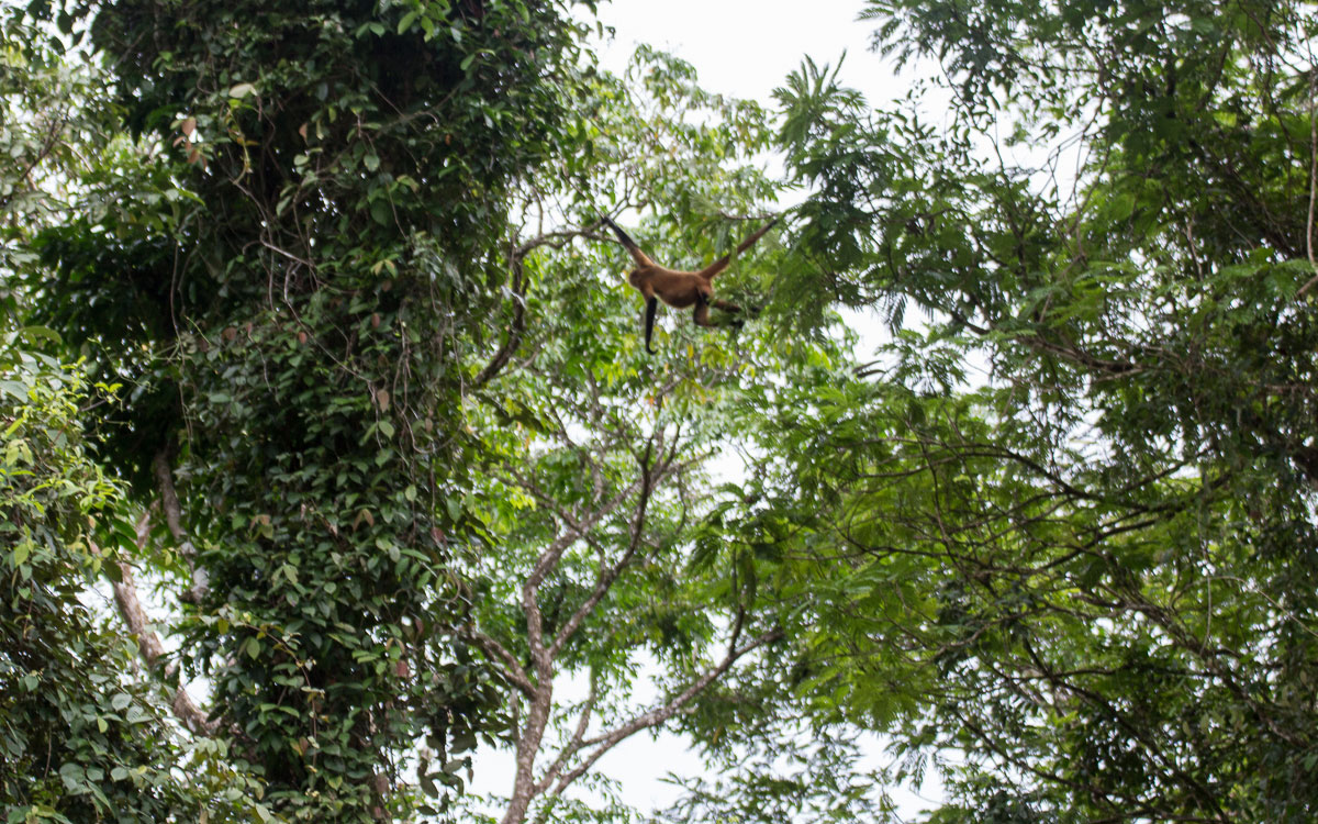 Tortuguero Nationalpark Boot Tour Spider Monkey