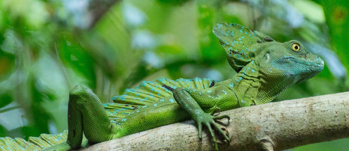 tortuguero-nationalpark-jesus-christus-echse-costarica