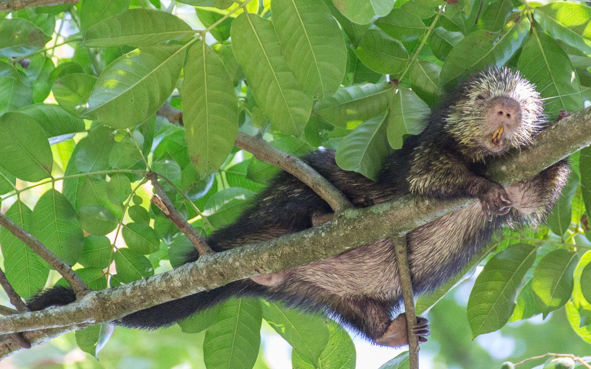 Tortuguero Nationalpark Stachelschwein