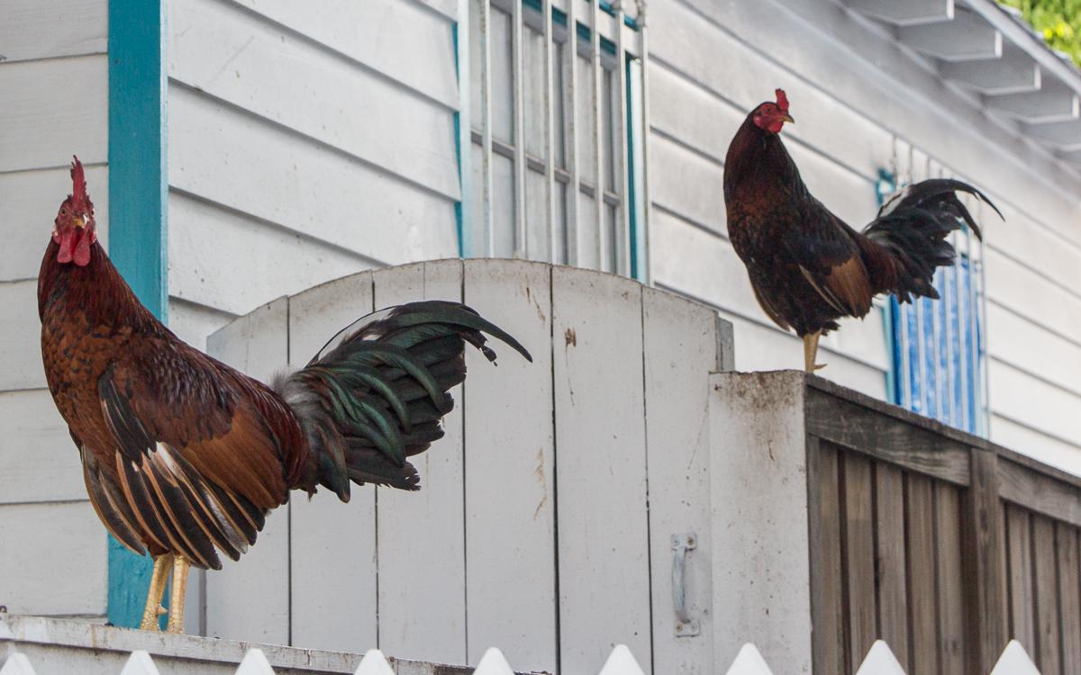 Key West Sehenswürdigkeiten Hühner