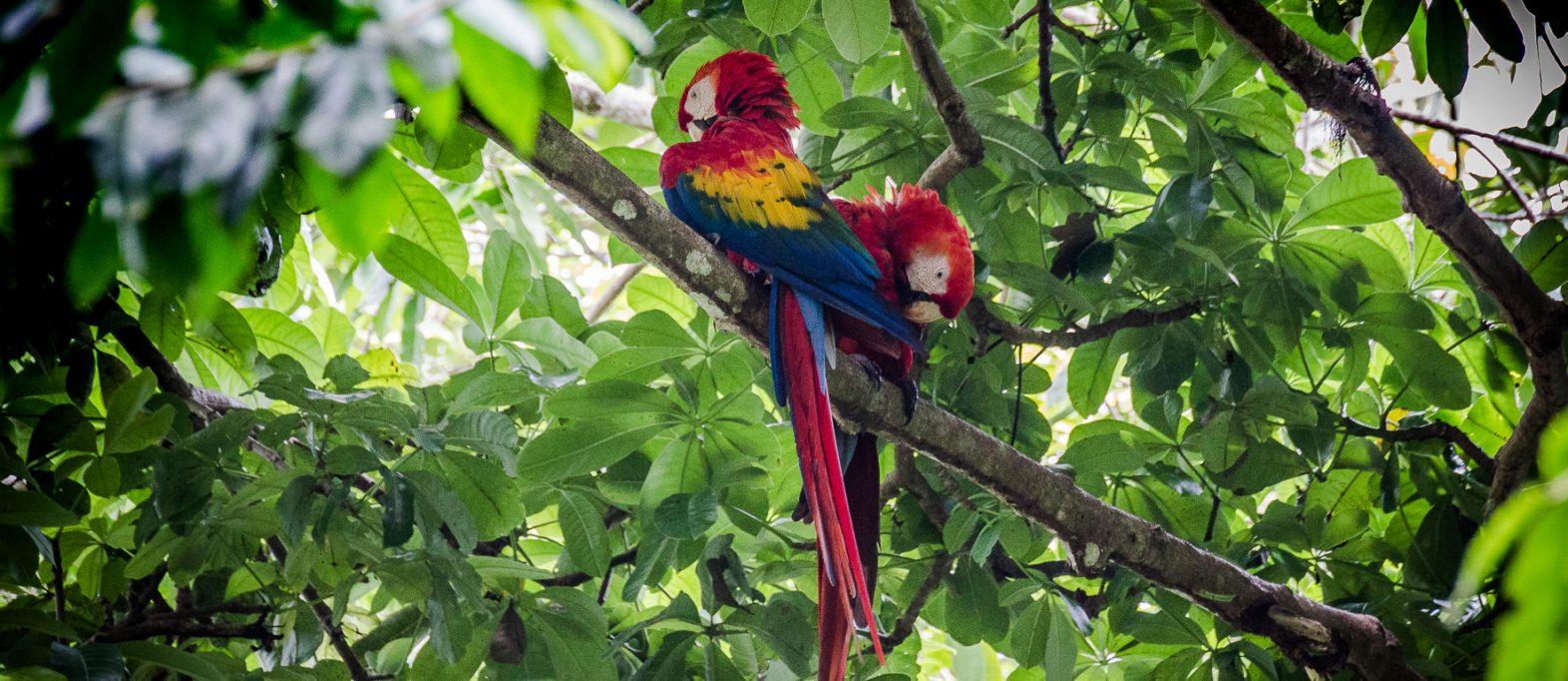 ARA Papageien Costa Rica