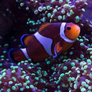 Sarasota TIpps Mote Aquarium Clownfish