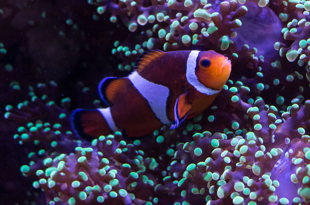Sarasota Sehenswürdigkeiten Mote Aquarium Clownfish