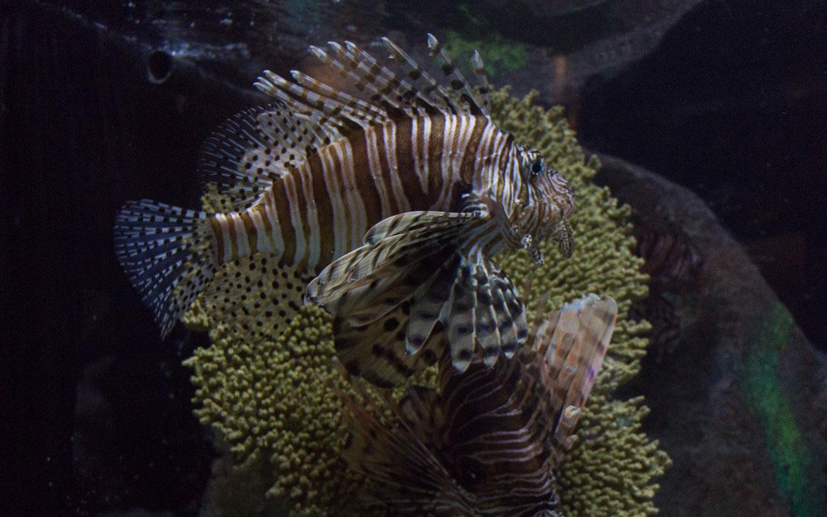 Sarasota Sehenswürdigkeiten Mote Aquarium Feuerfisch