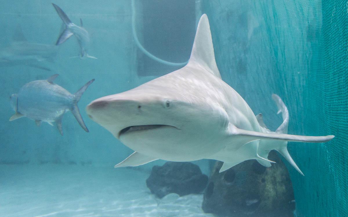 Sarasota Sehenswürdigkeiten Mote Aquarium Haie