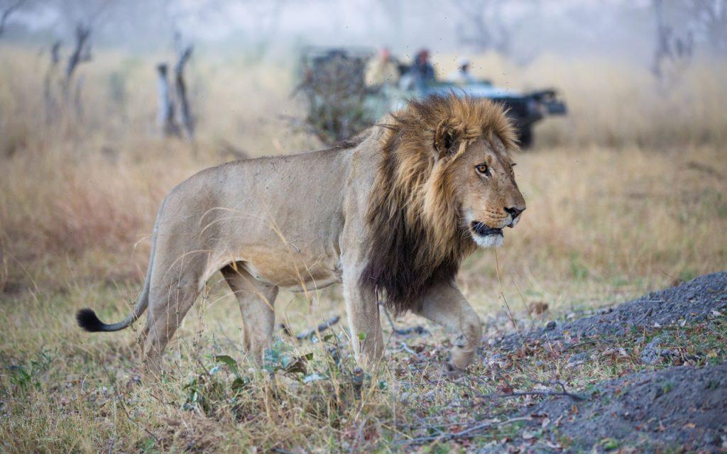 Botswana Reisetipps Kalahari Löwe