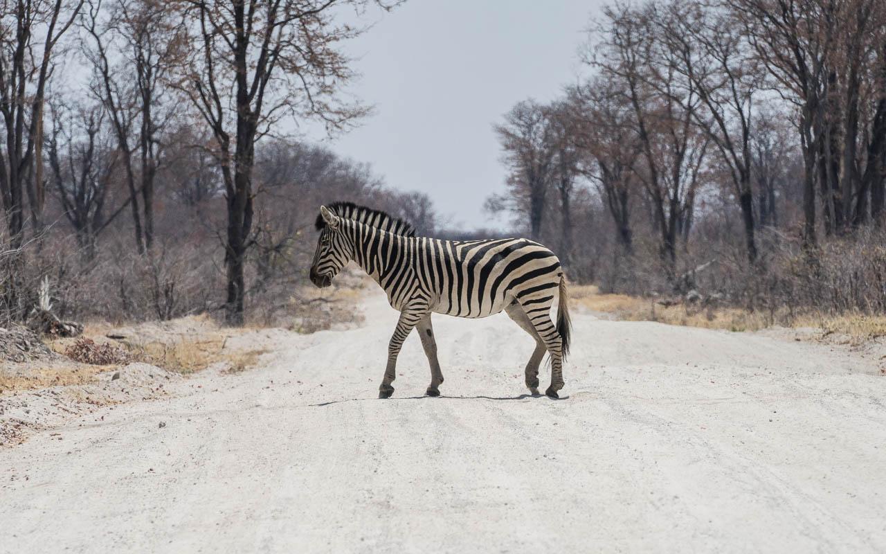 Autofahren Botswana Vorsicht vor Tieren